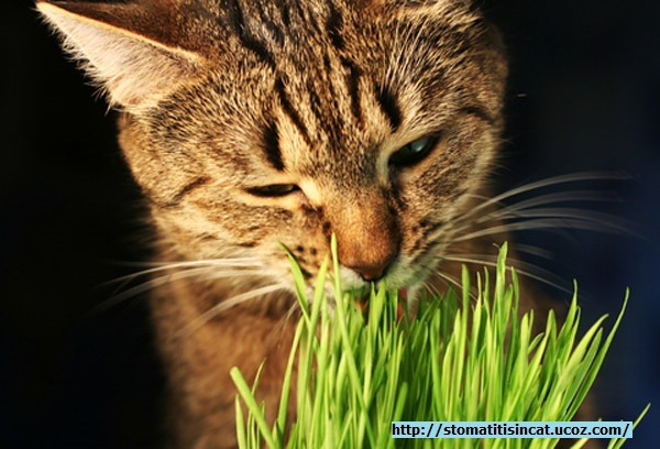 Preventing Stomatitis In Cats